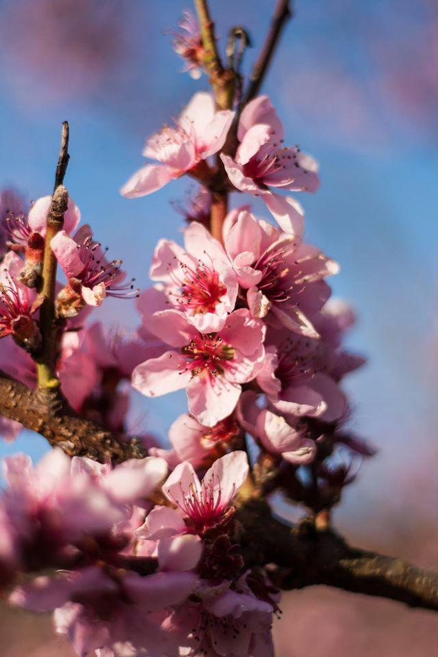 Pfirsichblütenfest
